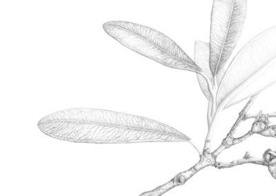 Pencil final Pohutukawa