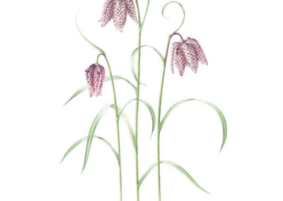 Fritillaria meleagris - Snakeshead Fritillary