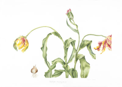 Tulipa-flaming-parrot