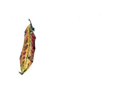 pencil leaf