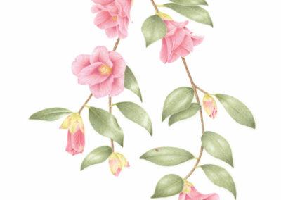 Bloedel Camellia