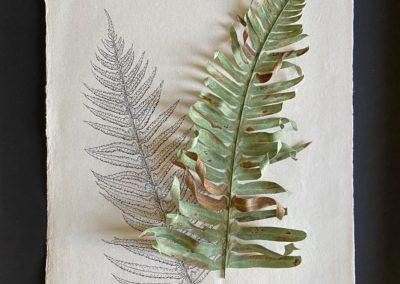 January's Sword Fern, Polystichum munitum